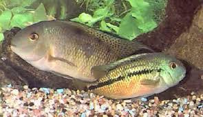 Nicaragua Cichlid Hypsophrys Nicaraguensis Spilotum Fish Guide