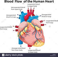 Human Heart Diagram Stock Photos Human Heart Diagram Stock