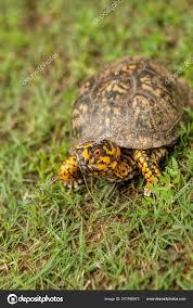 Red Eyed Male Box Turtle Terrapene Carolina Stock Photo