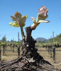 Pruning Grape Vines An Overview Grapes