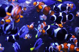 paul van allen photo of lots of clown fish in an aquarium