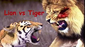 Real Fight Lion vs Tiger & Crocodile by Animal Fight To Death - video  Dailymotion