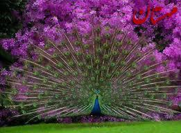 Image result for عکس طاووس