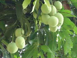 Buy Pista Plant Online At Cheap Price  Indiau0027s Biggest Plants And Kerala Fruit Trees