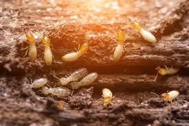 จากแมลงเม่าเล่นไฟ... สู่ปลวกมหันตภัยร้ายของบ้าน รู้จักปลวก รู้จักวิธีกำจัด ปลวกทั้งรัง