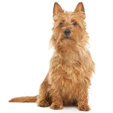 Terrier Dog Breeds Types Of Terriers Breed Info Pictures