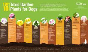 10 garden plants that are dangerous to