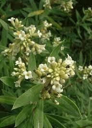 Daphne gnidium Flax-Leaved Daphne PFAF Plant Database