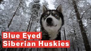Image result for Siberian Huskies