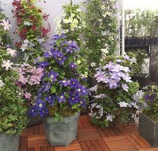24 Best Vines For Containers  Climbing Plants For Pots  Balcony Wall Climbing Plants In Pots