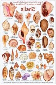 Id Tropical Card Field Guide Shell Beachcomber's Atlantic