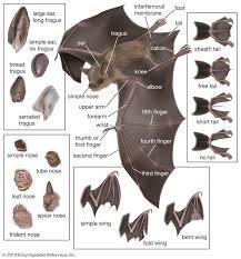 Bat Species Chart Bat Anatomy Bat Anatomy Fruit Bat Bat Species