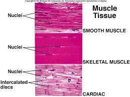 Muscular System Anatomy Biology Body En Health Human