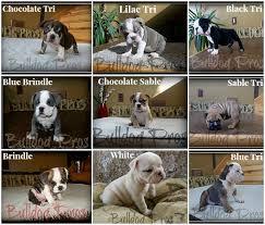 Brindle Color Chart Upcoming English Bulldog Puppies For 2017 Akc English