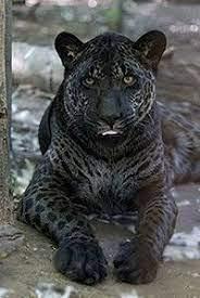 Imgur Rare Animals Animals Wild Cats