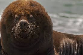 nature raw wild wildlife conservation travel south american sea lion also called southern sea lion and patagonian sea lion otaria