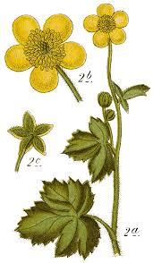 File:Ranunculus lanuginosus - Sturm.png - Wikimedia Commons