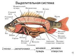 Биология для студентов Выделительная система рыб скачать реферат Органы выделения