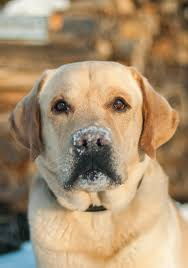 english yellow lab puppies. Wonderful Yellow English Labs Have A Thick Warm Double Coat Inside Yellow Lab Puppies P