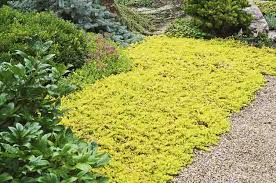 garden ground cover. Groundcovers Garden Ground Cover U