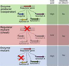 gene wiring keeps bacteria cooperating atlas of science there is a catch though previous research has shown that where the mutation occurs makes cheating detrimental rather than occuring in the gene making the