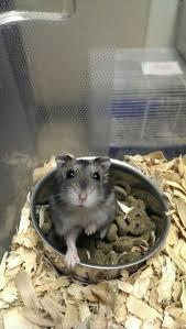 petsmart hamsters black and white. Winter White Hamster Petsmart And Hamsters Black