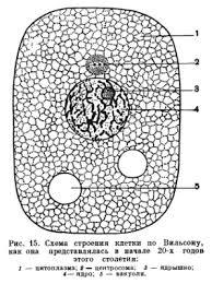 Строение и деление клетки Реферат 16 сопоставлена схема строения клетки как она представлялась в двадцатых годах этого столетия и как она представляется в настоящее время