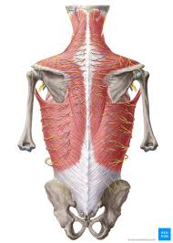 Anatomy Of The Back Spine And Back Muscles Kenhub