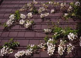 28 Best Vines  Los Angeles Images On Pinterest  Garden Vines Wall Climbing Plants Southern California