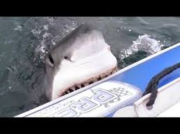 great white shark attacks boat. Perfect Shark With Great White Shark Attacks Boat I