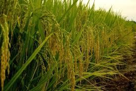 """Résultat de recherche d'images pour """"rizière"""""""