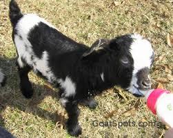 Bottle Feeding 101 Goat Spots
