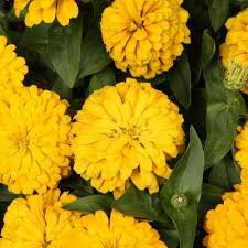 Zinnia Yellow Annuals Garden Plants Flowers The Home Depot