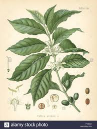 coffee bean plant illustration. Unique Coffee Coffee Coffea Arabica Chromolithograph After A Botanical Illustration  From Hermann Adolph Koehleru0027s Medicinal  In Coffee Bean Plant Illustration O