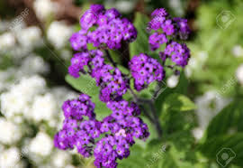 heliotropium arborescens garden heliotrope garden ornamental shrubby in appearance with broad green leaves and
