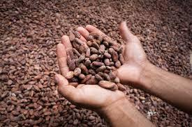 Resultado de imagen de fotos intermon cacao
