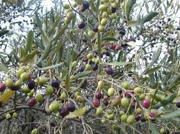Origin And History Of The Olive  InTechOpenWild Olive Tree Fruit