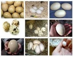 نتیجه تصویری برای تخم پرندگان