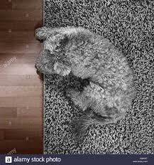 carpet grey. a grey dog on carpet