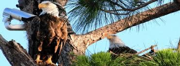 florida eagle cam. Wonderful Eagle Ozzie And Harriet The Southwest Florida Eagle Cam Nest Photo Courtesy  Dick Pritchett Real For