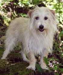 wire haired terrier mix.  Wire Where  And Wire Haired Terrier Mix