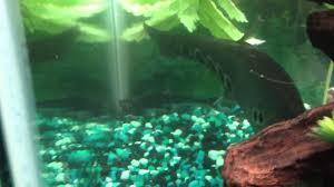 My Predator Freshwater Tank...Arowana, Gar, Bichir, and Knife Fish - YouTube