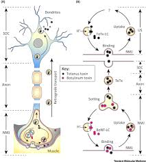 tetanus toxin circumventing brain barriers nanovehicles for retroaxonal
