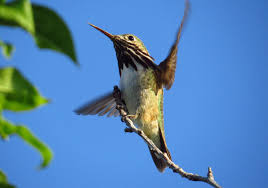 Tips For Identifying Hummingbirds Bird Watchers Digest