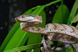 Long nose snake* * protected: Brown Tree Snakes Twist Themselves Into Lassos To Climb Scientific American