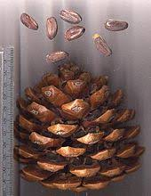 Résultats de recherche d'images pour «pinenuts»