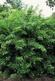 Angelica Shrub Plantguide Forest Garden Centre Matlock