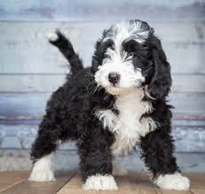 Bernedoodle Growth Chart Bernedoodle The Low Shedding Loving And Happy Family Dog