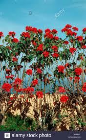 Weihnachtsstern Euphorbia Pulcherrima Weihnachtsstern