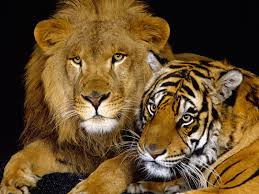 s images lion and tiger hd wallpaper and background photos